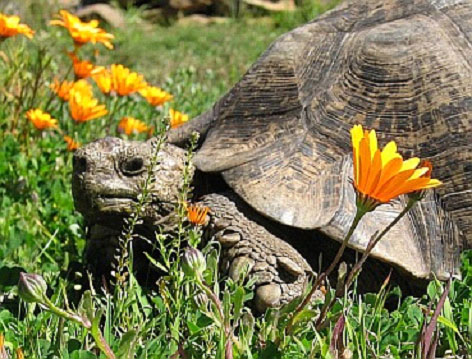 One of our 42 Mountain tortoises on a beautiful spring day