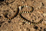 Harlekin snake spotted on Buchu koppie