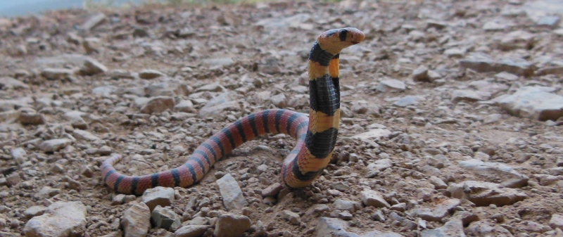 Coral Snake - Spotted at Simonskloof