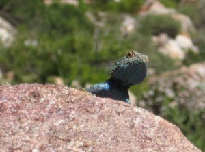 Blue headed Rock Agama on Gecko Trail - Simonskloof Mountain Retreat